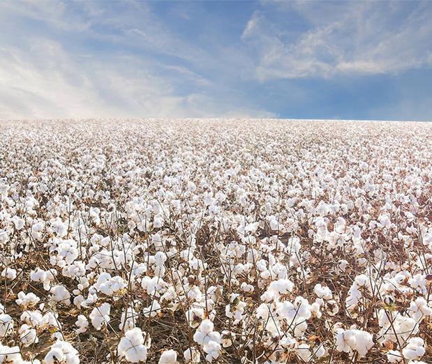 cotton for sleep ez
